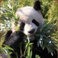 panda-beauval.jpg
