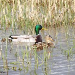 Couple de canards colvert