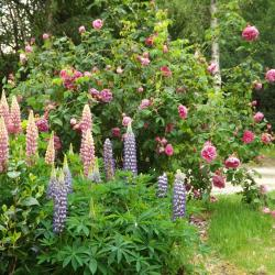 Lupins et Roses