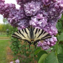 Lilas et papillon