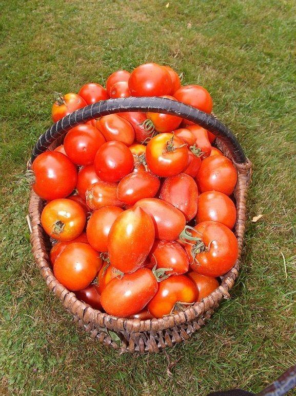 une récolte de tomates