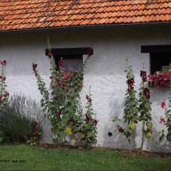 Roses tremières et lavandes